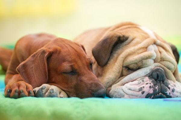 BulldogFriendSleeping